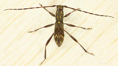 Mesolita lineolata Pascoe 1862 (Cerambycidae)
