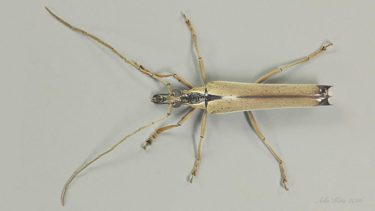 Uracanthus insignis Lea, 1918 (Cerambycidae)