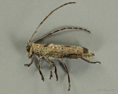 Ropica sp. (Cerambycidae)