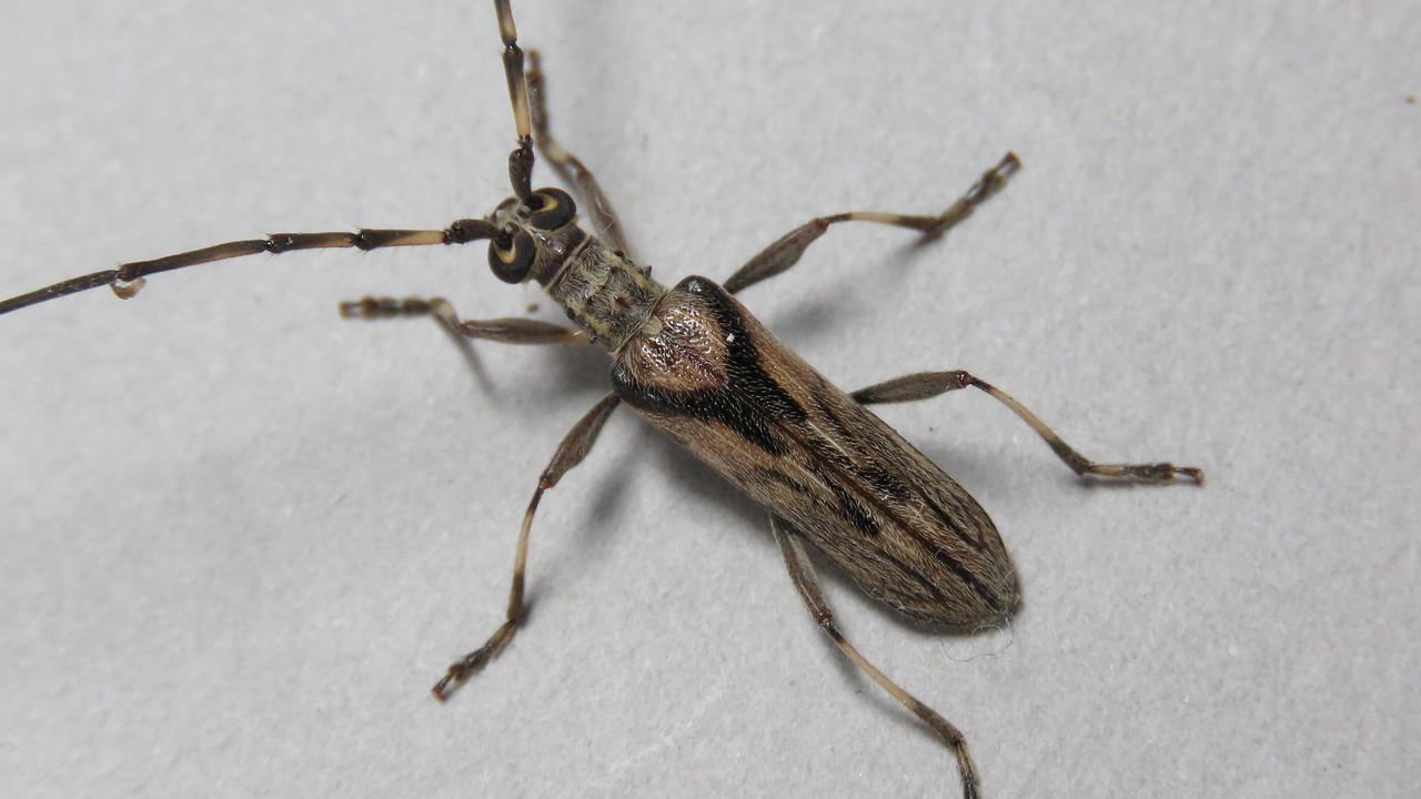 Didymocantha obliqua