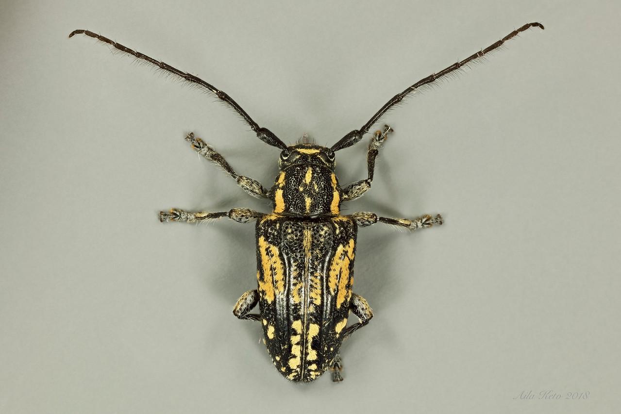Ancita crocogaster Boisduval, 1835 (Cerambycidae)