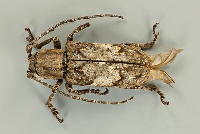 Rhytiphora pustulosa Pascoe (Cerambycidae)