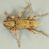 Phagodes longicollis Pascoe, 1871 (Cerambycidae)