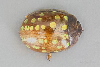 Chrysomelidae (Leaf beetles)
