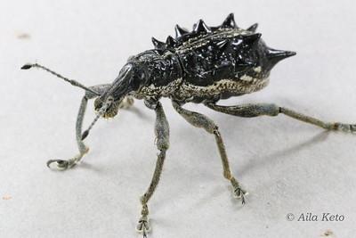 Curculionidae (Snout weevils)