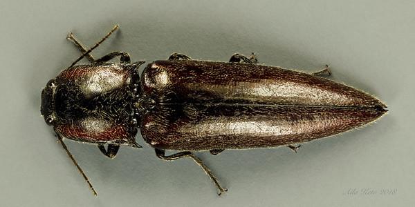 Elateroidea