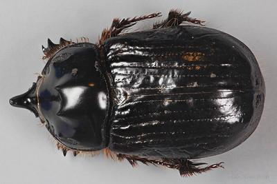Onthophagus dunning Harold, 1869 (Scarabaeidae)