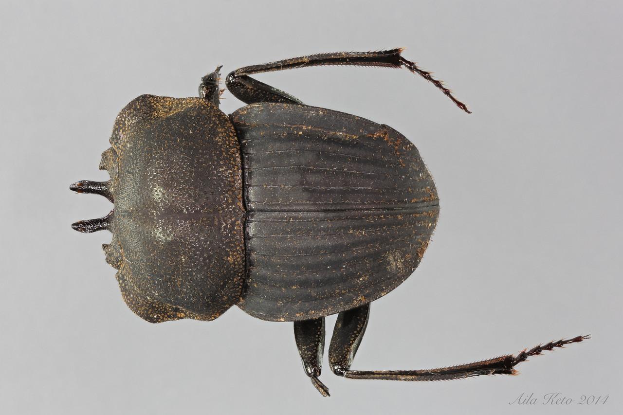 Cephalodesmius laticollis Pascoe, 1863 (Scarabaeidae)