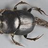 Onthophagus tweedensis Blackburn, 1903 (Scarabaeidae)