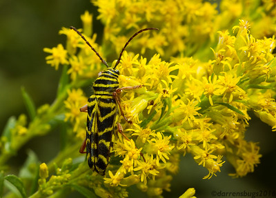 Locust Borer, Megacyllene robiniae (Iowa, USA). The yellow banding on this wasp-mimicking longhorn beetle provides excellent camouflage against blooming Goldenrod (genus Solidago), where adults regularly feed on pollen after emerging from Black Locust trees in late summer.