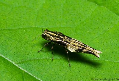 An unusual Jewel Beetle (Buprestidae: genus Agrilus) from Monteverde, Costa Rica.