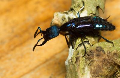 Rove Beetle - Staphylinidae: genus Plochionocerus, from Monteverde, Costa Rica.