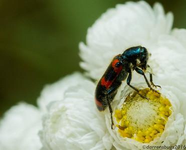 A Red-flue Checkered Beetle, Trichodes nuttalli, feeds on a wild sunflower (Wisconsin, USA).