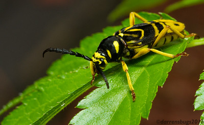 "This very convincing wasp mimic is actually a Sugar Maple Borer, Glycobius speciosus, a rare longhorn beetle from Wisconsin. The name ""speciosus"" comes from the Latin ""specios,"" meaning showy or beautiful."