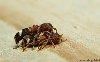 Mating longhorn beetles, Psenocerus supernotatus (Iowa, USA).