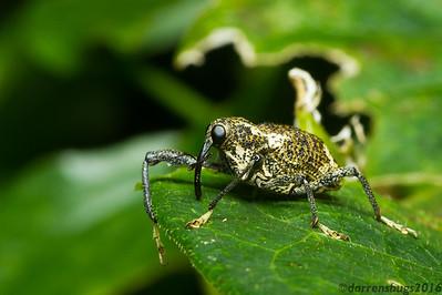 Goofy-looking yet dignified weevil (Curculionidae) from Monteverde, Costa Rica.
