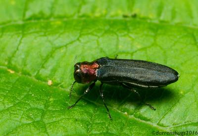 Metallic wood-boring beetle, Buprestidae: genus Agrilus (Iowa, USA).