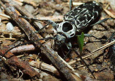 Longhorn beetle, family Cerambycidae, from Iowa, USA.