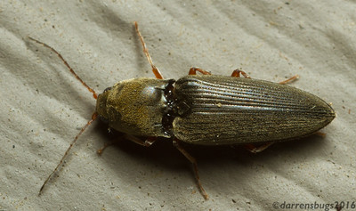 Dorsal view of a click beetle - Elateridae: genus Melanotus (Iowa, USA).