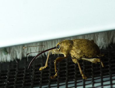 Acorn weevil - Curculionidae: genus Curculio, (Iowa, USA). These odd-looking beetles use their elongated snouts to bore into acorns and other nuts to excavate safe spaces for their eggs.