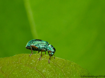 A Green Immigrant Leaf Weevil, Polydrusus formosus, nibbles on a leaf in Wisconsin.