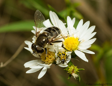 A hoverfly (family Syrphidae) and a Spotted Cucumber Beetle (Diabrotica undecimpunctata) chow down on pollen together (Iowa, USA).