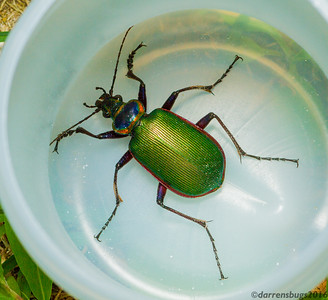 Fiery Searcher, Calosoma scrutator (Iowa, USA).