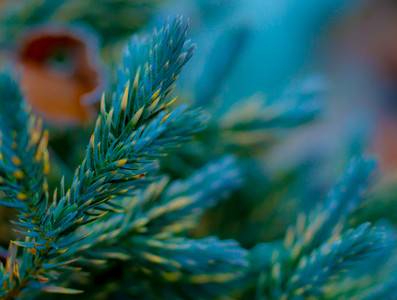 Pine with Dew