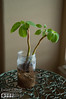 "A dwarf schefflera from a cutting of a plant I bought in Hawaii from here:<br /> <br />  <a href=""http://www.fukubonsai.com/3a2013a.html"">http://www.fukubonsai.com/3a2013a.html</a>"