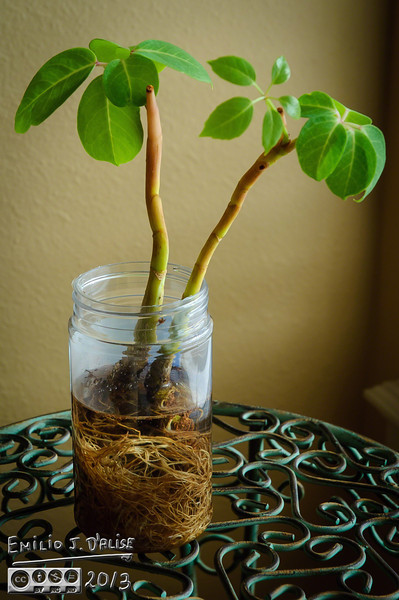 Someone who was taking care of the plant over-watered it, and it was dying.