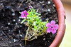 This little plant was in a pot with two others, part of an arrangement.  It was, as you can see, stunted, as it was overshadowed by the others.   <br /> In early October I started cleaning out the various flower pots, cutting down some of the perennials, and doing general prep for the winter.  I leave potted plants be until they are killed by frost.  Midway through October, we'd had a couple of deep freezes (25 deg. F), a few snows, and many frosty mornings.  <br /> <br /> By last week, the only spot of color in the front yard was this lone plant in the only remaining pot.  I looked at it . . . sometimes we must recognize the struggle, and reward it.