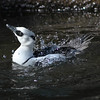290221J-smew_on_the_moveCp 6 06 00 PM 6 08 28 PM