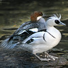 290425J-0198_Smew_in_courtship_mode_wi-2