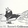 Headthrow goldeneye