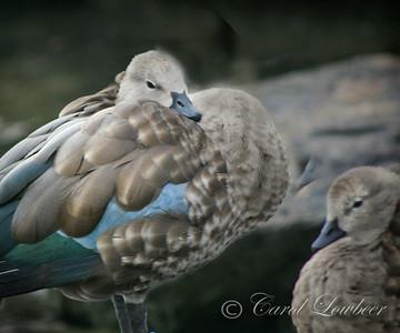 Waterfowl (Anseriformes) Courtship