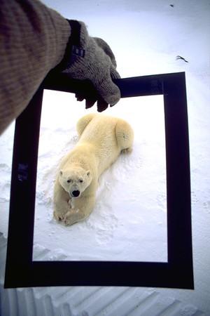 Pre-framed Polar Bear