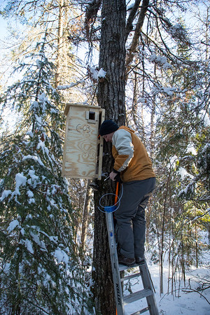 A wildlife ecologist installs the fisher den box