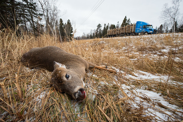 This pregnant doe is one of many road killed animals along this stretch of highway