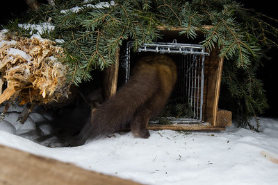Marten enters a camouflaged live trap.