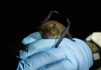 A big brown bat about to be released