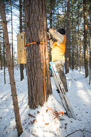 Installing the den box to a robust red pine