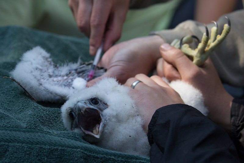 Figure 1. Blood samples are collected from a Peregrine Falcon chick for biological records