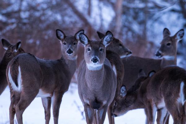 Deer accumulate in high densities near feeding stations