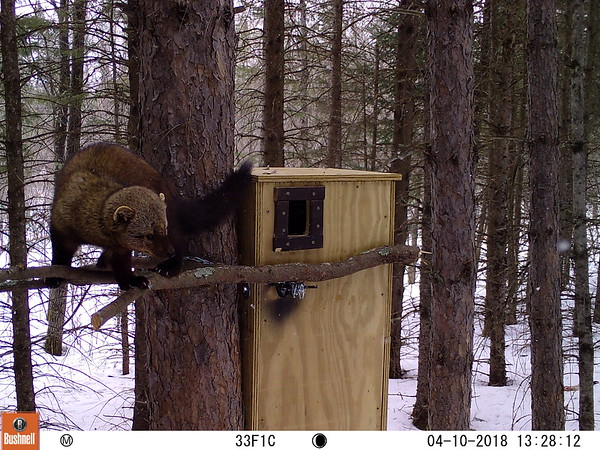 A male fisher investigates a den box in Wright, MN (Photo courtesy Carlton County Land Department).