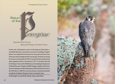 Peregrine Falcon monitoring article in the Minnesota Conservation Volunteer July/August 2018 Issue