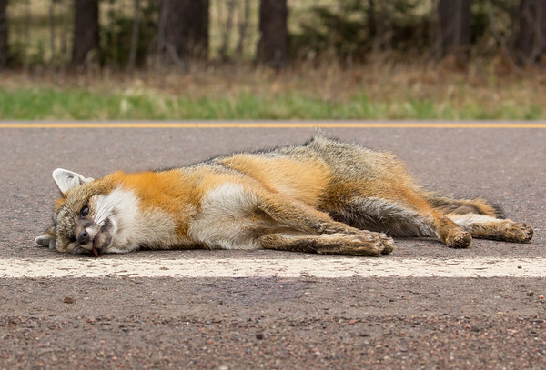 A grey fox struck and killed by a vehicle on her way back to feed her pups