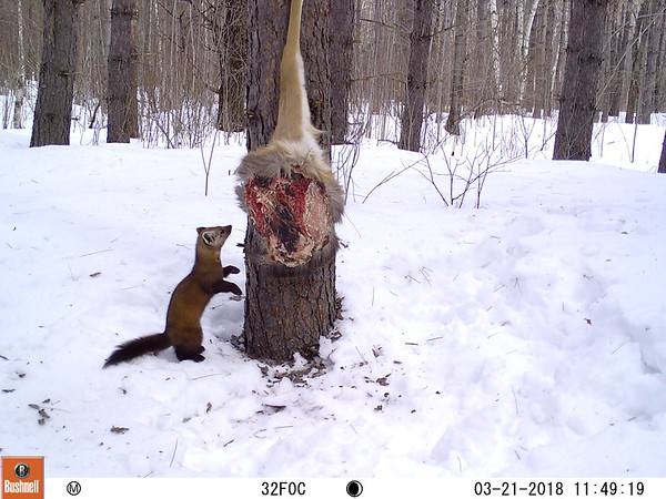 An American marten at a carnivore monitoring station