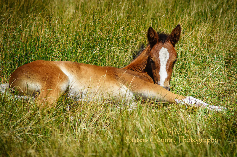 Cody Koch, the young owner who runs 80 head of horses at Black Butte Stables on Black Butte Ranch, took me out to meet this special young (2 weeks +- old?) foal he is raising to be the future ride of his 2 year old daughter. Thanks Cody. It was a magical moment for me. This Image was taken as part of Project Dayshoot+30, #dayshoot30, for the Oregon Historical Society on July 15th, 2013 - Copyright © 2013 Gary N. Miller, Sisters Country Photography