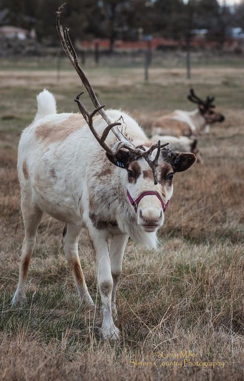 Reindeer in the off-season. Redomond Reindeer Ranch - Redmond, OR - Gary N. Miller - Sisters Country Photography