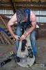 Master shearer Allan Godsiff shears Awbrey Cyrus's herd of sheep in Sisters, Oregon © 2015 Gary N. Miller, Sisters Country Photography